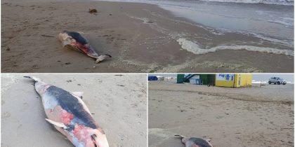 delfin mort eforie