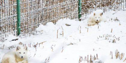 vulpile polare